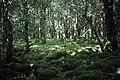 Reedadinna Wood, Muckross, Killarney National Park - geograph.org.uk - 65481.jpg