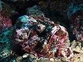 Reef stonefish (Synanceia verrucosa) (49257554698).jpg