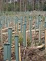 Replanting - geograph.org.uk - 410679.jpg