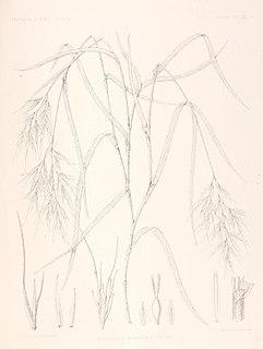 <i>Podophorus</i> genus of plants