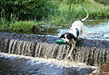 Retrieving practice by the dam wall on Loch Na Bo - geograph.org.uk - 543606.jpg