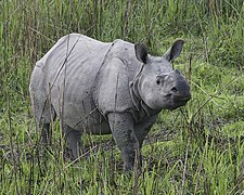 Rhino cub 690V6232 - Flickr - Lip Kee.jpg
