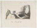 Rhinolophus bihastatus - 1700-1880 - Print - Iconographia Zoologica - Special Collections University of Amsterdam - UBA01 IZ20700151.tif