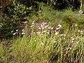 Rhodanthe chlorocephala rosea 03.jpg