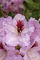 Rhododendron 'A. Bedford' Closeup 2000px.jpg