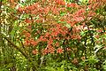 Rhododendron Kaempferi 02.jpg