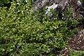 Rhododendron albiflorum 0223.JPG