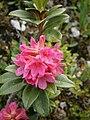 Rhododendron ferrugineum RHu.JPG
