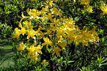 Rhododendron luteum.jpg