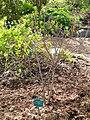 Rhododendron molle ssp. japonicum - University of Copenhagen Botanical Garden - DSC07584.JPG
