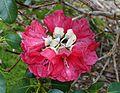 Rhododendron thomsonii - Trebah Garden - Cornwall, England - DSC01324.jpg