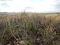 Rhus aromatica - fragrant (skunkbush) sumac - Flickr - Matt Lavin.jpg