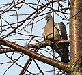 Ringduva Wood Pigeon (13042781904).jpg