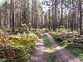 Road in forest - panoramio (1).jpg