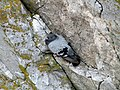 Rock Dove on Cliffside at Berry Head.jpg