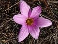 Romulea rosea Middelberg Pass 01.jpg
