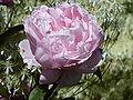 Rosa 'Brother Cadfael' (Rosaceae) flower 2.JPG