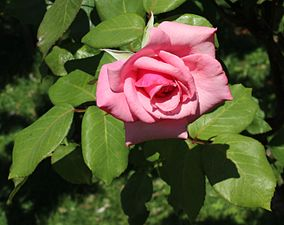 Rosa Queen Elizabeth 1.jpg