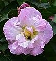 Rosa de engaño - Amistad del día (Hibiscus mutabilis) - Flickr - Alejandro Bayer (3).jpg
