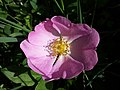 Rosa gallica sl33.jpg