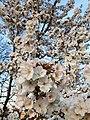Rosales - Prunus padus - 19.jpg
