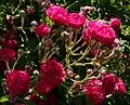 Rosarium Baden Rosa 'Crimson Rambler' Turner 1894 02.jpg
