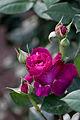 Rose, Intrigue5.jpg
