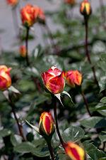 Rose, Spectra - Flickr - nekonomania (3).jpg