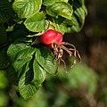 Rose hips Rosa rugosa Hansa 3.jpg