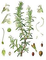 rosemary - wikipedia rosemary herb diagram