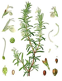 Illustrazione di R.officinalis