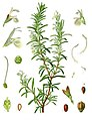 Rosmarinus officinalis - Köhler–s Medizinal-Pflanzen-258.jpg