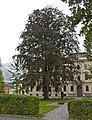 Rotbuche Bezirksgericht Ried.jpg