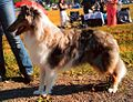 Rough Scotch Collie.jpg