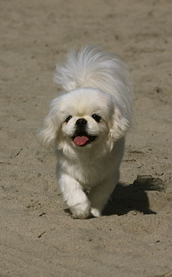 Royal White Peke01.JPG