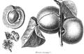 Rozier - Cours d'agriculture, tome 1, pl. 3 abricot commun.png
