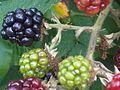 Rubus fruticosus wetland 5.jpg