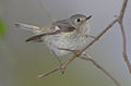 Ruby-crowned kinglet 2.jpg
