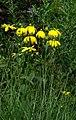Rudbeckia laciniata Herbstsonne.jpg