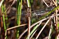 Ruddy darter dragonfly (Sympetrum sanguineum) female dorsal worn.jpg
