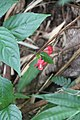 Ruellia coccinea - El Yunque nat park PR IMG 2039.JPG