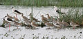 Ruffs, Redshanks, Black-winged Stilts etc near Hodal I Picture 2133.jpg