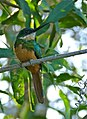 Rufous-tailed Jacamar (Galbula ruficauda) (29116501086).jpg