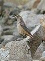 Rufous-tailed Rock-thrush (Monticola saxitilis) (45634885512).jpg