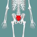 Sacrum - posterior view02.png