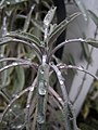 Sage and Water Drops (5275095121).jpg