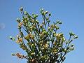Sagina procumbens inflorescence (13).jpg