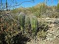 Saguaro cactus, Saguaro National Park (Rincon Mountain District), Arizona (6715f5bb-4bb8-49bd-a9e1-b59d8baf5318).jpg