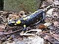 Salamandra salamandra Decin.JPG