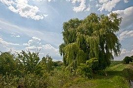 Salix alba 4 seasons Summer (001).jpg